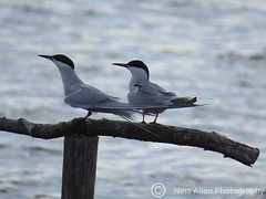 The Terns have Returned! Two common terns at Abberton Reservoir on Sunday. (nina1688) Tags: terns twoterns commontern commonterns ternshavereturned springwatch spring april abbertonreservoir essex wildbird wildlifephotograph wildlifephotography wildlifetrust photographingbirds bird birds twobirds birdphotographs birdphotographer birdphotographing migrating migrant summermigrant beautiful elegant white water waterbird perched lovely naturephotograph nature naturereserve lovenature naturephotography wildlife eastanglia