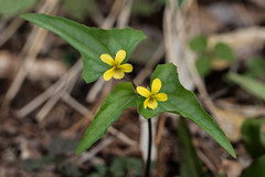 Viola hastata (Halberd-leaf Violet) (jimf_29605) Tags: violahastata halberdleafviolet persimmonridgeroad greenvillecounty southcarolina wildflowers sony a7rii 24240mm