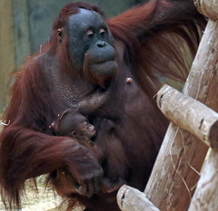 orangutan Tjintha and baby Ouwehand 094A0133 (j.a.kok) Tags: ouwehands orangutan orangoetan orang ouwehandsdierenpark ouwehand animal asia aap azie ape mammal monkey mensaap motherandchild moederenkind primate primaat tjintha minggu zoogdier dier