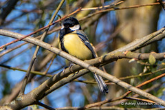 Great Tit (Ashley Middleton Photography) Tags: cricklade lmf animal bird england europe greattit lowermoorfamnaturereserve titmouse unitedkingdom wiltshire cotswoldwaterpark