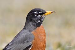 American Robin (jt893x) Tags: 150600mm americanrobin bird d500 jt893x nikon nikond500 portrait robin sigma sigma150600mmf563dgoshsms songbird thrush turdusmigratorius alittlebeauty coth thesunshinegroup coth5 sunrays5 ngc