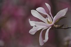 Star Magnolia (JossieK) Tags: magnoliastellata magnolia starmagnolia spring flower bokeh