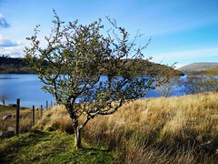 A Tree in Connemara (mcginley2012) Tags: connemara tree landscape cameraphone huaweip20pro loughcorrib lake countryside fence