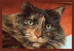 DSC04648 Easy Portrait (Olpo2vin) Tags: cat chat yeux eyes regard look félin feline olpo easy poils fourrure redessan 30129 animaldecompagnie vibrisses
