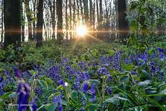 The Flemish Ardens on their best... (Fabke.be) Tags: vlaamseardennen vlaanderen oostvlaanderen nature natuur natuurpunt naturephotography hyacint flowers sunset sun wood bos muziekbos purple paars bloemen hyacinths
