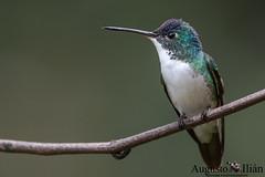 DSC_3760.jpg (Augusto Ilian G) Tags: amaziliaandina andeanemerald amaziliafranciae