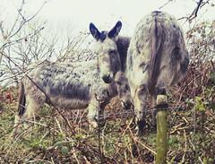 Saying Hello (Clive Varley) Tags: donkeys whitecoppice april2019 nikond7000 affinityphotobeta nikcolorefexpro