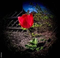 springtime-6600 (clickraa) Tags: blumen garten frühling