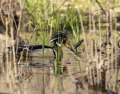 Wood Duck (will139) Tags: duck wildlife colorful woodduck aixsponsa nature beautyinnature bird animal animalsinthewild swimming waterfowl beak avian carolinaduck water eaglecreekpark