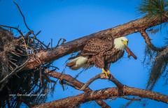 Eagle Perch (tclaud2002) Tags: eagle baldeagle american americanbaldeagle bird raptor birdofprey branch tree perch perched nest outdoors nature mothernature bradenton florida usa