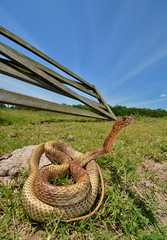 Western Coachwhip - Coluber flagellum testaceus (clint.atrox) Tags: herping herpsoftexas herpetology snake ranch blue
