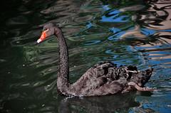 Black swan (gerard eder) Tags: world travel reise viajes animals animales tiere swan blackswan trauerschwan cisne cisnenegro natur nature naturaleza wasser water waterbirds