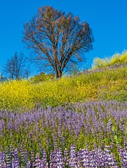 Malibu Creek State Park wildflowers (Luc Mena Photography) Tags: losangeles ca usa malibu creek state park california outdoors nature spring wildflowers flowers bloom blooming season landscape poppies lupine colorful hills vertical blue sky tree