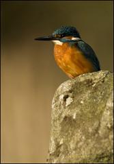 Kingfisher (Craig 2112) Tags: kingfisher alcedoatthis male bird wild lincolnshire