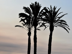 Three Palms (earthdog) Tags: 2018 nikond5600 d5600 nikon 18300mmf3563 travel businesstravel carlsbad hotel grandpacificpalisadesresort work sky tree palmtree sunset