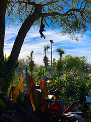 Just Hanging Out (Harold Brown) Tags: florida flowersplants jax jacksonville outdoor palm plant plants sky usa winter bhagavideocom clouds fl haroldbrowncom harolddashbrowncom iphonexsmax photosbhagavideocom tree haroldbrown