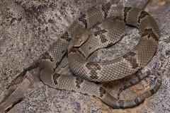 Texas Lyre Snake (DevinBergquist) Tags: texaslyresnake lyresnake lyre snake herping fieldherping wildlife nature nm newmexico trimorphodon trimorphodonvilkinsonii