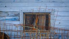 some are born to grateness (jtr27) Tags: dscf5739xl jtr27 fuji fujifilm xt20 xf 50mm f2 f20 rwr blue shed mesh grate window newhampshire decay