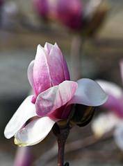 pink magnolia (pontla) Tags: pink magnolia flower