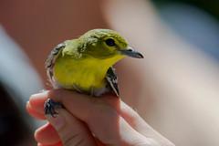 Yellow-throated Vireo (stephaniepluscht) Tags: alabama 2019 bird banding band birmingham audubon yellowthroated vireo yellow throat throated
