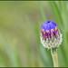 Lovely Blue Cornflower