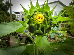Sunflower pucker (Canadian Dragon) Tags: 2018 bc canada dschx5c nanaimo september vancouverisland bloom blooming blossoming fall garden opening plants sunflower yard