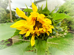 Unfolding (Canadian Dragon) Tags: 2018 bc canada dschx5c nanaimo september vancouverisland bloom blooming blossoming fall garden opening plants sunflower yard