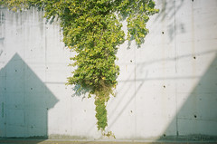 live on the wall (Kenji Kitae) Tags: wall leaf leaves green tree plant architecture city town shadow fine sunny sunlight lifestyle lifework location landscape life hiroshima japan earth nature