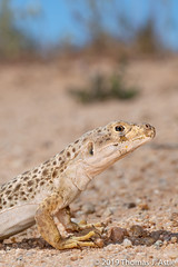 Long-Nosed Leopard Lizard (Tom's Macro and Nature Photographs) Tags: naturephotography wildlifephotography reptiles lizard leopardlizard gambeliawislizenii desert desertanimals mojavedesert california