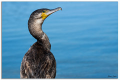 Great Cormorant (Bear Dale) Tags: great cormorant scientific name phalacrocorax carbo nikon d850 nikkor afs 200500mm f56e ed vr ulladulla southcoast new south wales shoalhaven australia beardale lakeconjola fotoworx milton nsw nikond850 photography framed nature