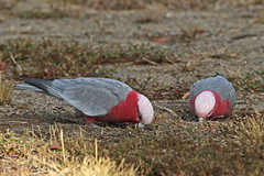 Table For Two - HWW (DaveSPN) Tags: galahs feeding vicuni hopperscrosing melbourne victoria australia canon7dll