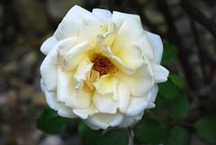 Hab Dank, Herr Jesu, dass du dich (amras_de) Tags: rose rosen ruža rosa ruže rozo roos arrosa ruusut rós rózsa rože rozes rozen roser róza trandafir vrtnica rossläktet gül blüte blume flor cvijet kvet blomst flower floro õis lore kukka fleur bláth virág blóm fiore flos žiedas zieds bloem blome kwiat floare ciuri flouer cvet blomma çiçek