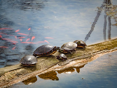 Sunning Turtles (Greg Jarman) Tags: greenfieldvillage michigan dearborn tourist attraction omd em5 mk ii micro four thirds m43 tokina 300mm mirror lens