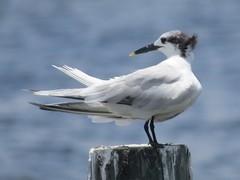 sandwich tern (Cheryl Dunlop Molin) Tags: sandwichtern tern birdsofflorida