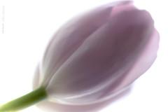 Happy Easter 🌷 (mariola aga) Tags: spring flower tulip pink macro closeup nature art