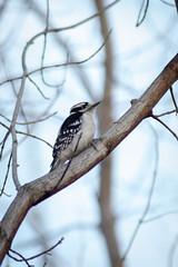 (Thunderwall) Tags: bird woodpecker pecker feather feathers beak talon claw stripes stripe black white eye branch tree nature forest sap wildlife photography animal outdoors nikon d5300