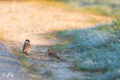 Pair of reed buntings (Renate van den Boom) Tags: 04april 2019 europa gelderland jaar maand nederland ooijpolder renatevandenboom rietgors vogels