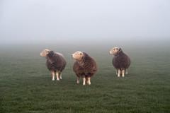 20190329 (Homemade) Tags: sheep field farm grove fog mist morningmist morning vivitar70210mmf35series1 wantage oxfordshire southoxfordshire