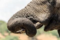 Cleaning the mud off... (lyn.f) Tags: african elephant elephanttrunk loxodontaafricana chobenationalpark botswana water waterislife nikon pangolinphotosafari