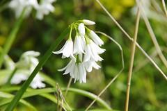 White bells (Sundornvic) Tags: spring flowers green white blue bluebells spanish nature shropshire sunshine pentax art pentaxart k70