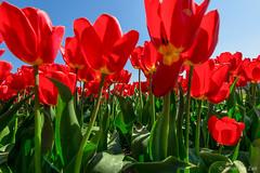 The forest of tulips (© Jenco van Zalk) Tags: tulip tulipa red closeup macro nature flower flowering blooming depth bluesky