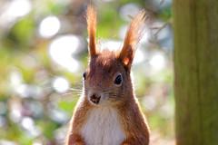 Eichhörnchen  /  Squirrel (wolfgang.kynast) Tags: eichhörnchen squirrel friedhof cemetery