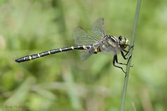Cordulegaster boltonii (Donovan 1807) (ajmtster) Tags: macrofotografía macro insecto invertebrados libélula libelulas odonatos anisopteros cordulegasterboltonii cordulegaster boltonii dragonfly dragonflies amt macho