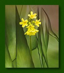 primrose in the green :-) (franzisko hauser) Tags: spring nature art nikon5300 framed macroverticalpanophotography processing filter texture composing primrose