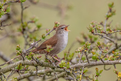 Cetti's Warbler (Linda Martin Photography) Tags: dorset cettiacetti wildlife longhamlakes bird cettiswarbler nature uk animal coth naturethroughthelens coth5 alittlebeauty