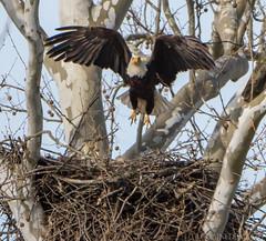 16 April Eagles12-4161160 (TheMOX) Tags: eagle baldeagle bald raptor greenfield hancockcounty
