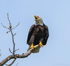 16 April Eagles10-4161241 (TheMOX) Tags: eagle baldeagle bald raptor greenfield hancockcounty