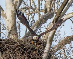 16 April Eagles8-4161177 (TheMOX) Tags: eagle baldeagle bald raptor greenfield hancockcounty