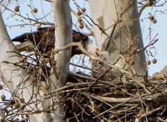 16 April Eagles4-4161484 (TheMOX) Tags: eagle baldeagle bald raptor greenfield hancockcounty