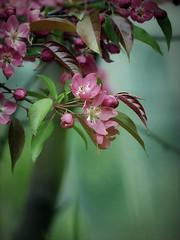 (Kaska Ppp) Tags: nature naturephotography natur flower flowers trees bloom spring pink green natureinfocusgroup